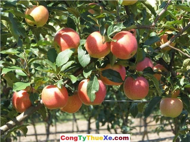 Thuê xe đi Bến Tre Vườn cây ăn trái Cái Mơn