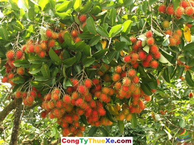 Thuê xe đi vườn trái cây Cái Mơn