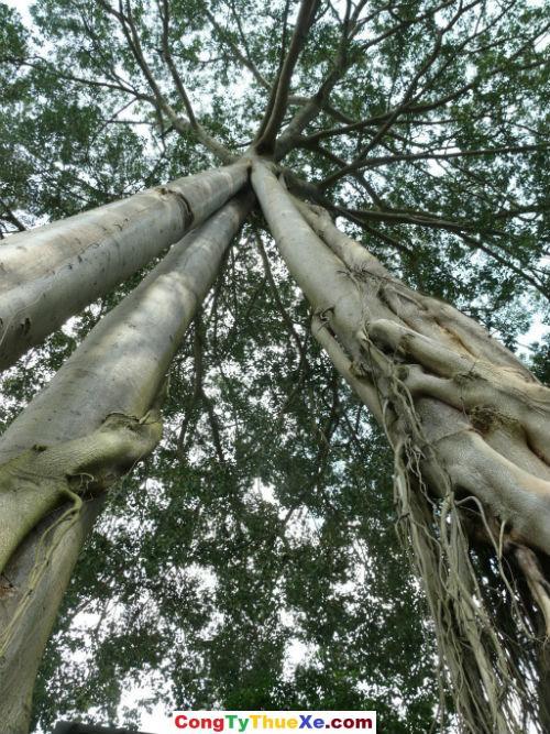 cây đa 3 gốc – Núi Chứa Chan Gia Lào